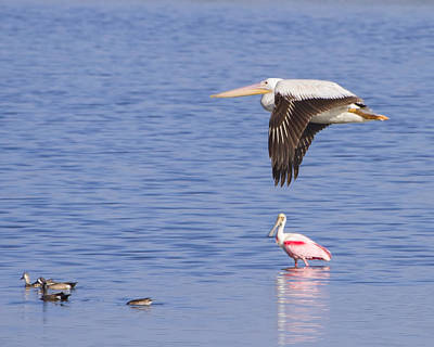 Spoonbill Photograph - Flight Of The Pelican by Mark Andrew Thomas