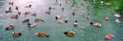 Panoramic Of San Diego Photograph - Flock Of Ducks In A Pond, San Diego Zoo by Panoramic Images