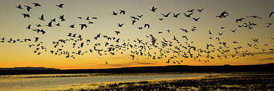 Of Birds Photograph - Flock Of Geese Rise Off Pond At Bosque by Panoramic Images