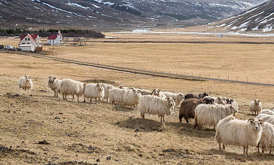 Sheep Photograph - Flock Of Sheep, Iceland by Panoramic Images
