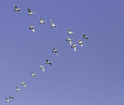 Flock Of Tundra Swans In Flight Print by Thomas Young