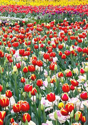 Floriade Photograph - Floriade Tulip Garden by Vishva Vajra