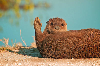 Otter Mixed Media - Florida Otter by Davids Digits