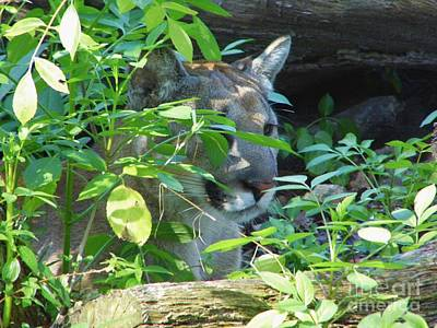 Florida Panther Hiding Print by D Hackett