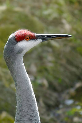 Close Ups Photograph - Florida Sandhill Crane by Christine Till