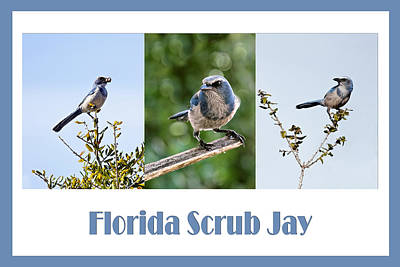 Collage Photograph - Florida Scrub Jay Poster by Dawn Currie