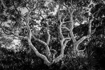 Palmetto Plants Photograph - Florida Scrub Oaks Bw   by Rich Franco