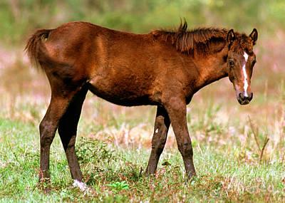 Florida Spanish Horse Print by Millard H. Sharp