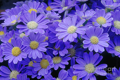 Pericallis Photograph - Florists Cineraria Hybrid by Geoff Bryant