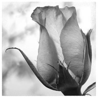 Blooming Rose Print by Mike McGlothlen