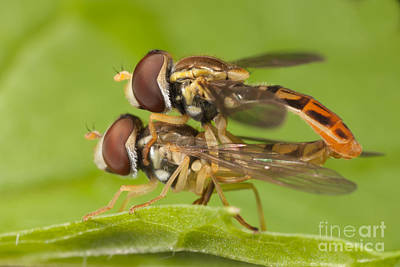Flower Flies Mating Print by Clarence Holmes