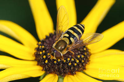 Insects Photograph - Flower Fly And Yellow Flower by Clarence Holmes