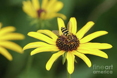 Insects Photograph - Flower Fly And Yellow Flowers by Clarence Holmes