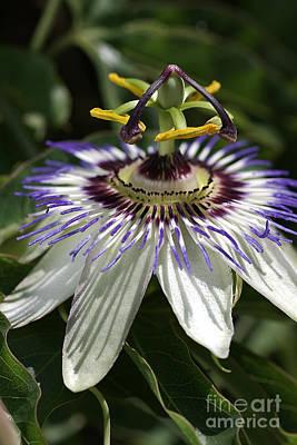 Passionfruit Photograph - flower-Passionfruit by Joy Watson