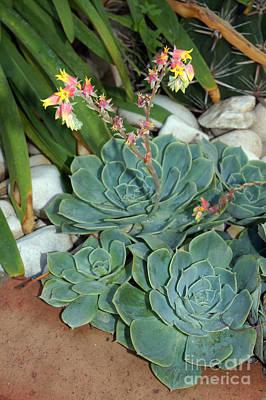 Flowering Cactus Print by Rod Jones