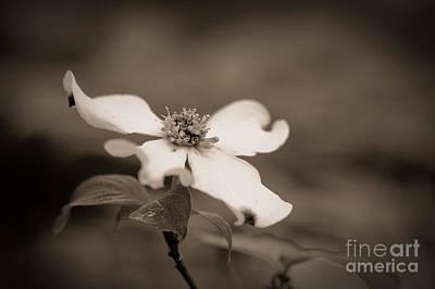 Dogwood Photograph - Flowering Dogwood Blossom by Oscar Gutierrez