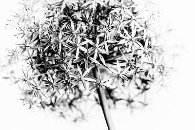 Florets Photograph - Flowering Onion by Elena Elisseeva