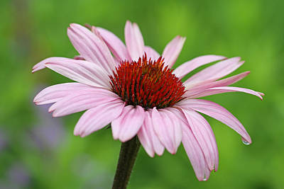 Flowering Pink Coneflower Print by Juergen Roth