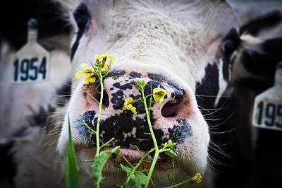 Cow Photograph - Flowers For Lunch by Priya Ghose