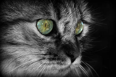 Gray Tabby Photograph - Fluffy by Barb Gabay