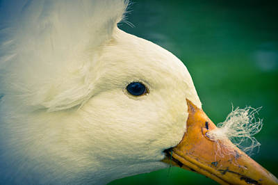 Duck Photograph - Fluffy Nose by Priya Ghose