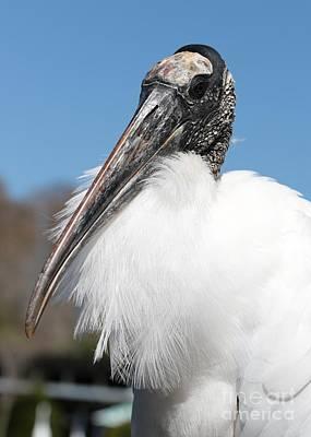 Fluffy Wood Stork Print by Carol Groenen