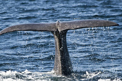 Biologic Photograph - Flukes Of A Sperm Whale 2 by Heiko Koehrer-Wagner