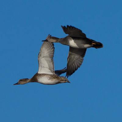 Ducks In Flight Photograph - Fly By 1 by Ernie Echols