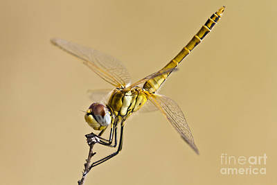 Biologic Photograph - Fly Dragon Fly by Heiko Koehrer-Wagner