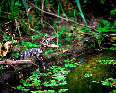 Alligator Photograph - Fly Into My Mouth Please by Mark Andrew Thomas