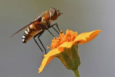 Nature Center Photograph - Fly Resting On Wildflower, Edinburg by Larry Ditto