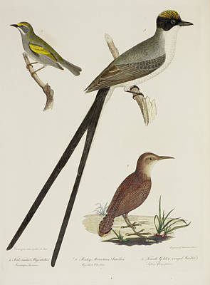Flycather. Anteater. Warbler Print by British Library