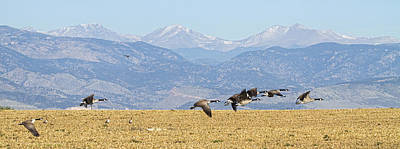 Corporate Art Photograph - Flying Canadian Geese Rocky Mountains Panorama 2 by James BO  Insogna
