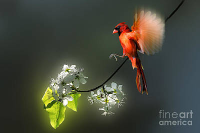 Flying Cardinal Landing On Branch Print by Dan Friend