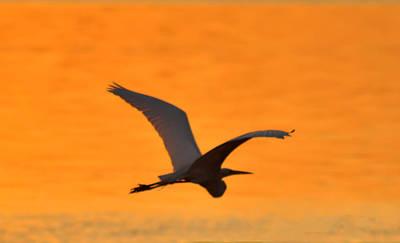 Egret Digital Art - Flying Egret by Bill Cannon