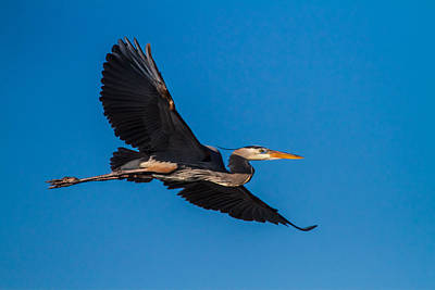 Beak Photograph - Flying Great Blue Heron by Andres Leon