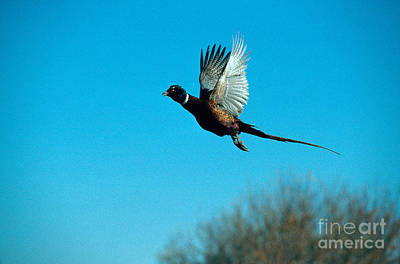 Pheasant Photograph - Flying Pheasant by William H. Mullins