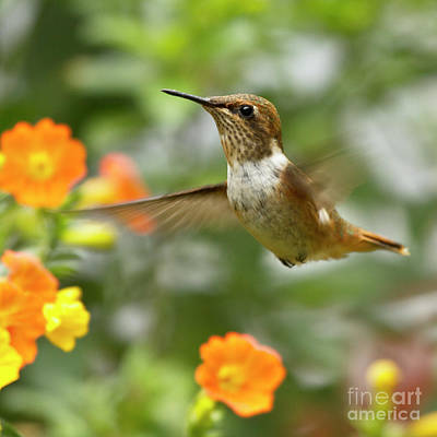 Flying Scintillant Hummingbird Print by Heiko Koehrer-Wagner