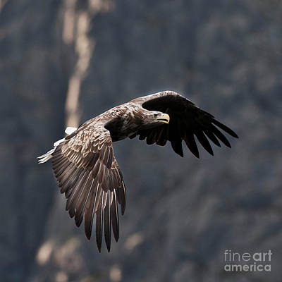 Ailing Photograph - Flying Sea Eagle  by Heiko Koehrer-Wagner