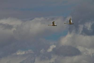 D Wade Photograph - Flying Swans Through The Storm by Dan Sproul