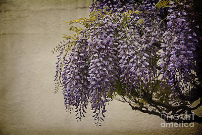Focus On Wisteria Print by Terry Rowe