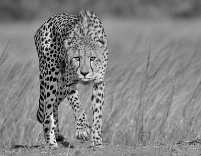 Stalk Photograph - Focused Predator by Jaco Marx