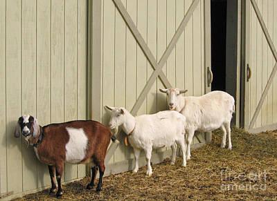 Saanen Goat Photograph - Follow The Leader by Ann Horn