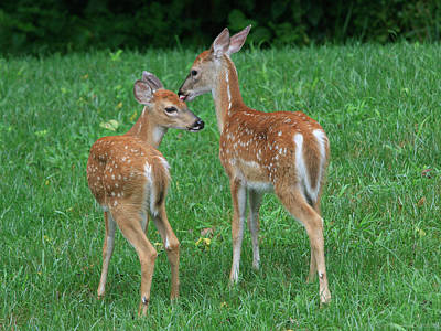 Photograph - Fond Fawns by Charles Warren