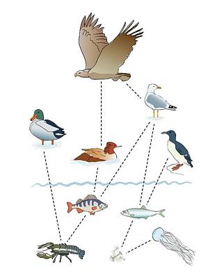 Waterbirds Photograph - Food Chain by Jeanette Engqvist