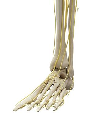 Foot Bones And Nerves Print by Sciepro