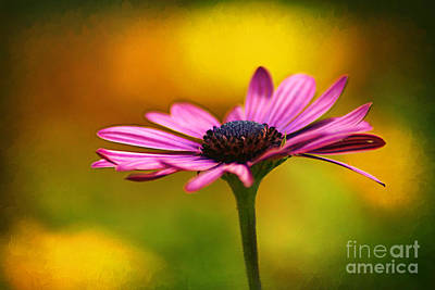 Osteospermum Photograph - For You by Darren Fisher