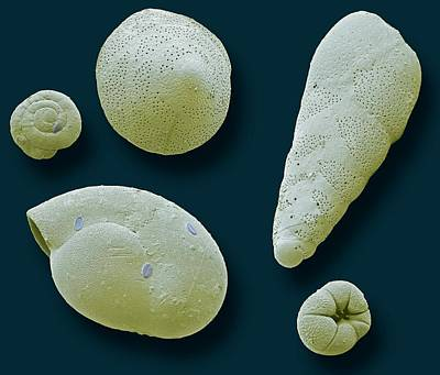 Single-celled Animal Photograph - Foraminifera by Steve Gschmeissner