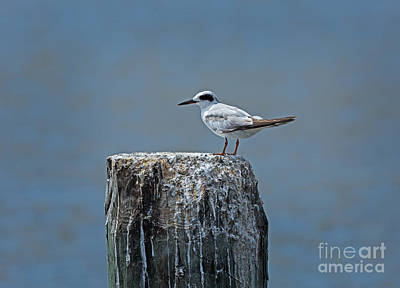 Forster's Tern Print by Louise Heusinkveld
