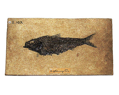 Fossil Fish Print by Ucl, Grant Museum Of Zoology